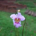 ナリヤラン 花の様子