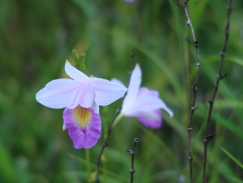 Bamboo Orchid/ ナリヤラン