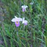ナリヤラン 花の咲いている様子