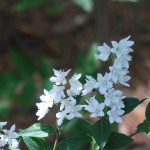 ヒメウツギ 花の様子