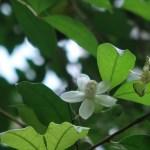 ユーゲニア フレドリッシスターシー ブラックチリアングァバ 花の様子
