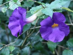 Thunbergia vogeliana/ ツンベルギア フォーゲリアナ