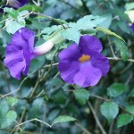 ツンベルギア フォーゲリアナ 花の咲いている様子