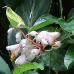 ゲットウ 花の咲いている様子