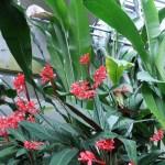 レッドジンジャー 花の咲いている様子