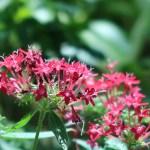 ペンタス 赤色の花