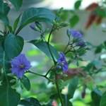 ソラヌム ヴェンドランディー 花の咲いている様子