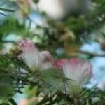 Suriname powder puff/ スリナムゴウカン