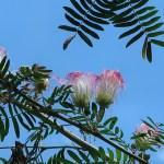 スリナムゴウカン 花の様子