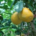レモン 実のなっている様子