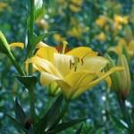 スカシユリ 黄色の花の姿
