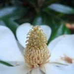 タイサンボク 花のアップ