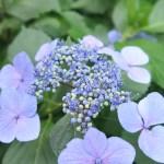 アジサイ ガクアジサイの花