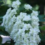 カシワバアジサイ 花の姿