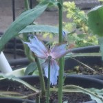 メコノプシスグランディス 花の姿