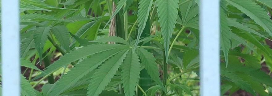 Cannabis/ アサ