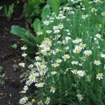 ローマンカモミール 花の咲いている様子