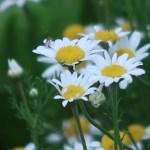 ローマンカモミール 花の姿