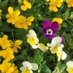 パンジー ビオラ 花の様子