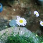 Swan River daisy / ヒメコスモス