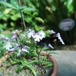 イワチドリ 花の咲いている様子