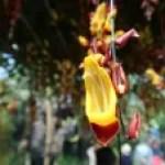 Mysore trumpetvine マイソルヤハズカズラ
