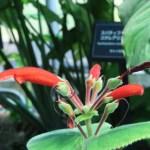 シンニンギア 花の姿