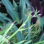 アリステア エクロニー 花の咲いている様子