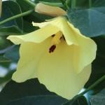 モンテンボク 花の様子