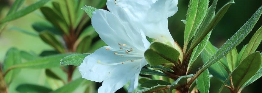 Rhododendron boninense/ ムニンツツジ