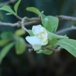 アメリカバンマツリ 花の様子