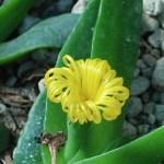 Glottiphyllum linguiforme/ ホウロク