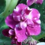 アフリカスミレ 花の姿