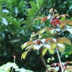 ヤトロファ・ゴッシピフォリア 花の咲いている様子