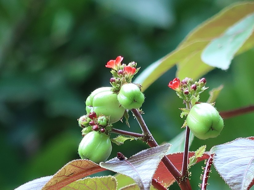 Bellyache bush/ ヤトロファ・ゴッシピフォリア
