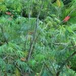 サケバヤトロファ 花の咲いている様子