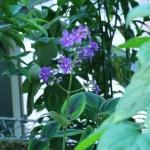 ホザキノボタン 花の咲いている様子