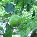 小石川植物園 ニュートンのリンゴ