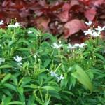 サンユウカ 花の咲いている様子
