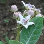 アコン 花の咲いている様子