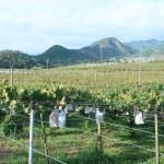 ブドウ 収穫期のブドウ棚