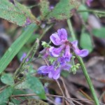 ナンテンハギ 花の様子