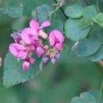 マルバハギ 花の様子