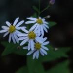 シラヤマギク 花の姿