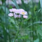 ハルジオン 花の様子