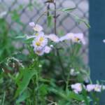 ハルジオン 花の咲いている様子
