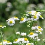 ヒメジョオン 花の咲いている様子
