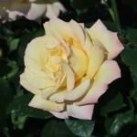 Modern Rose モダンローズ
