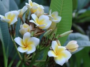 プルメリア 花の咲いている様子(黄花)