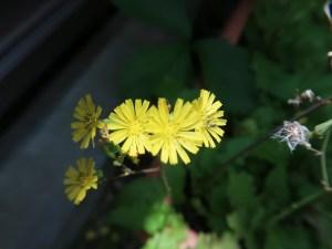 Oriental false hawksbeard/ オニタビラコ